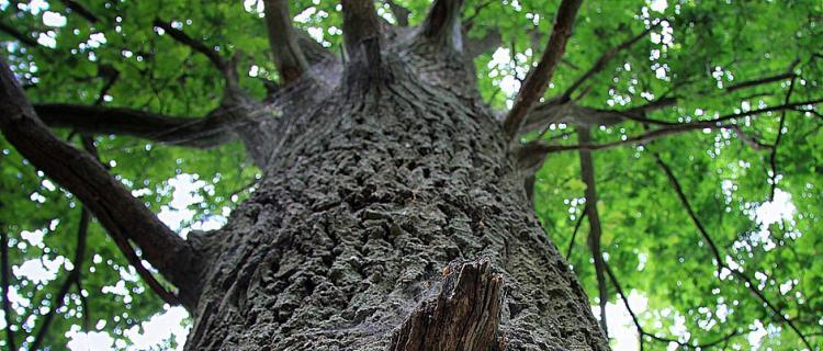 Wieliszew. Pielęgnują pomniki przyrody